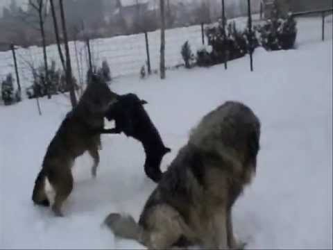 wolf and Doberman dancing in the snow