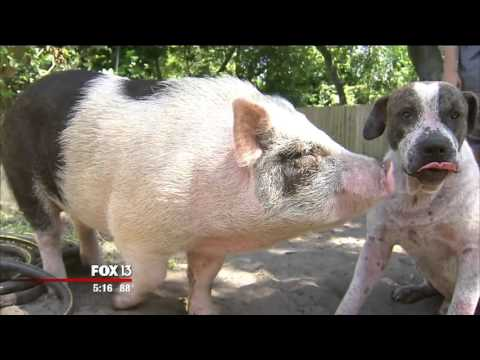 Pig, dog pals happy to be back home