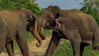 Male Elephants in Musth Fight for Dominance!   BBC Earth
