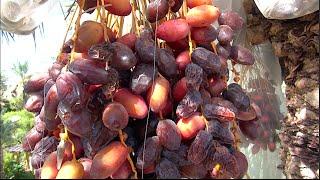 DATES - Growing & Eating Organic Locally Grown Dates in Phoenix, Arizona