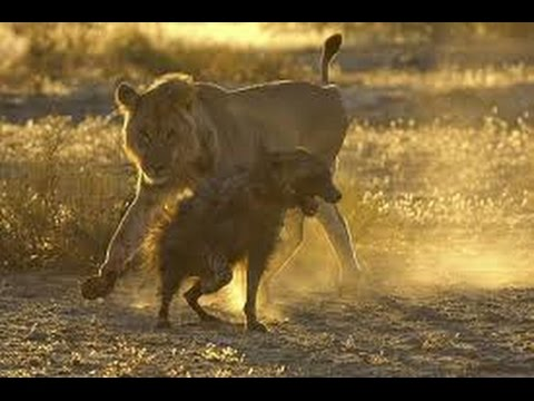 Watch this lion attack hyena brutality