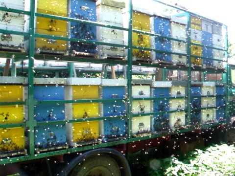 Pčelarski kamion na lipovoj paši Beekeeper s track on linden pasture