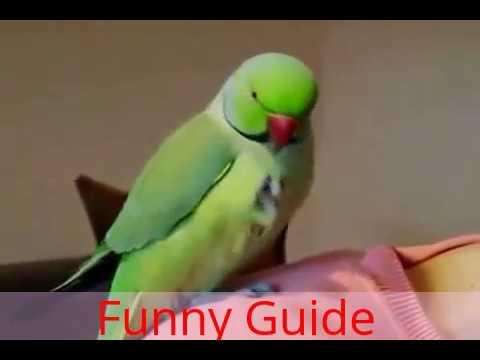 Best funny (Parakeet Birds)