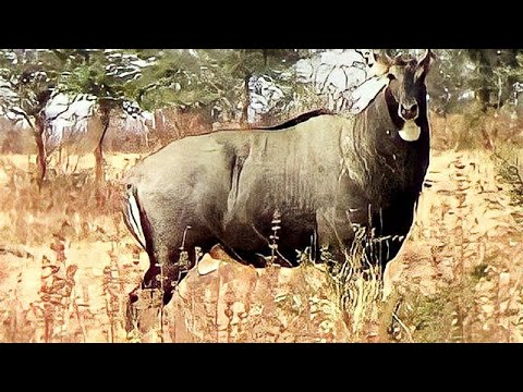 Angry Big bull Nilgai or blue bull (Boselaphus tragocamelus) face to face at Pohara jungle
