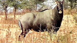 Angry Big bull Nilgai orblue bull(Boselaphus tragocamelus) face to face at Pohara jungle
