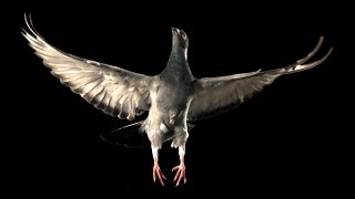 Slow Motion Pigeon Flight | BBC Earth