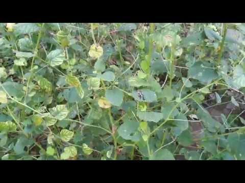 Psoralea corylifolia (Babchi) [Seeds, Leaves & Extract] [Supplier & Exporter]