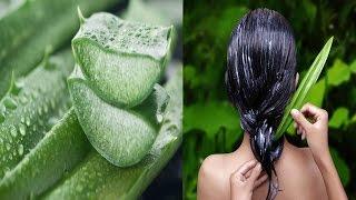 চুল খুশকি মুক্ত ঝরঝরা ও উজ্জ্বল করতে অ্যালোভেরার ব্যবহার।Bangla Health Tips