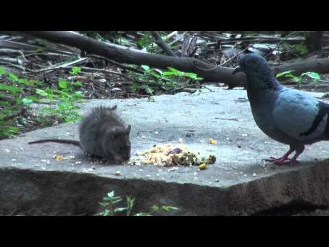 Fighting for food pigeon squirrel and rat