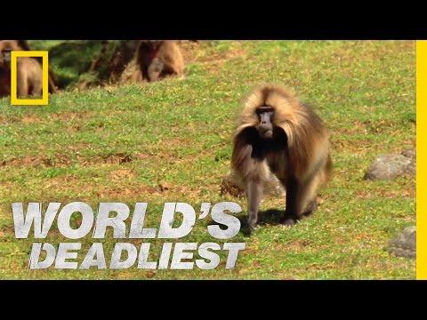 Gelada vs. Gelada World s Deadliest
