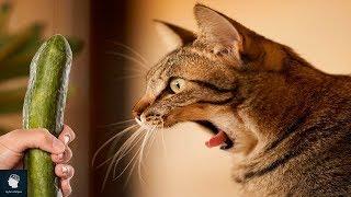 هل تعلم لماذا تخاف القطط من الخيار؟؟ وما علاقة القطط بالخيار ؟؟ لن تتوقع الإجابة ..!!