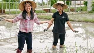 How Jasmine Rice is Grown: From Paddy to Table | Mini Documentary