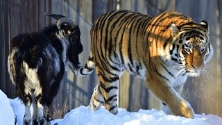 Amur the Tiger and Timur the goat's friendship at Russian wildlife park may be over.