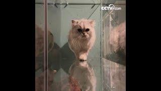 جسم القطة ناعم بسبب عدم وجود عظمة الترقوة، هل هذا صحيح؟|CCTV Arabic