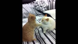 Munchkin Cat Hockey Fight