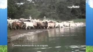 Boiada em Comitiva na travessia do Rio Araguaia
