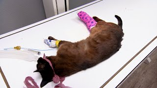 Can Dr. Jeff Save This Mountain Cat's Badly Broken Leg? | Dr. Jeff: Rocky Mountain Vet