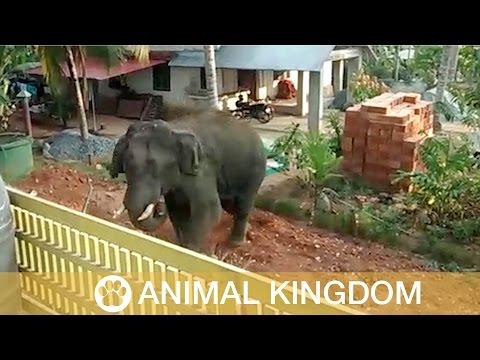 Elephant Rampages Through Village