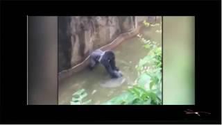 Anak Kecil 4 Tahun Diseret Gorilla Ganas