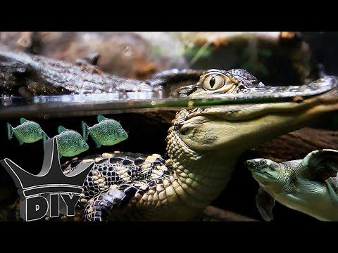 Piranha African cichlids and Alligators