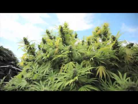 Plantas de marihuana de 10 kilos
