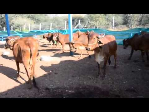 Gir Cows at Shree Radhey Gir Farm