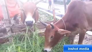 গরু ও ছাগল যখন কথা বলে-The cow talking-দেখুন গরু ও ছাগল কিভাবে কথা বলে