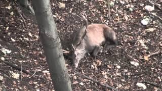 Spiaci jelen