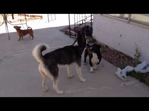 Xxx Mp4 Husky And Sammie Dog Trying To Sex 3gp Sex