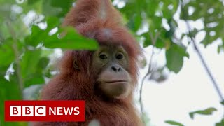 Leuser : Baby orangutans rescued from Indonesia's pet trade - BBC News