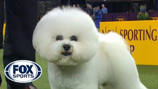 Flynn the Bichon Frise wins the Non Sporting Group | WESTMINSTER DOG SHOW (2018) | FOX SPORTS