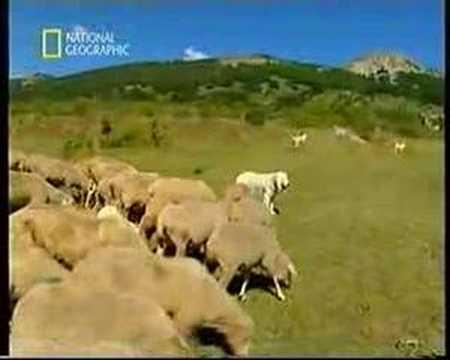 Pastori Maremmani Abruzzesi al Lavoro velino sirente.co