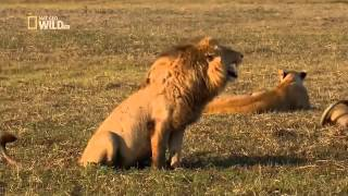 Lion laugh Hahahaha León Riéndose jajajaja