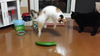 Cucumbers and dogs are cats worst enemy - Funny cat compilation will make you LAUGH!