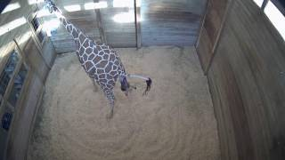 Baby Giraffe Born at Blank Park Zoo