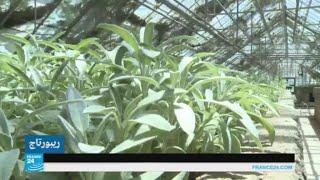 نبتة المليسة.. دواء غير كيميائي لمرض الزهايمر