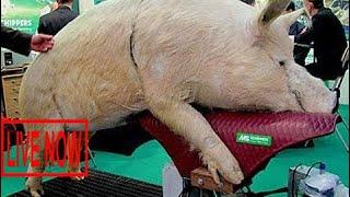 World Amazing Modern Intelligent Technology Smart Farming Pig Breeding Insemination Feeding Cl #SON