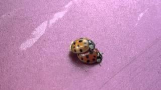 Ladybugs sexn