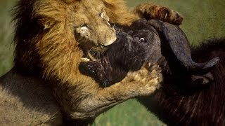 Life of Lions - Hunting, Fighting & Mating [Full Documentary]