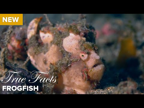 True Facts Frog Fish