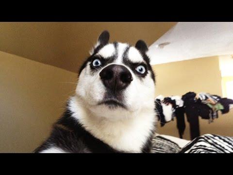 Funny HUSKY ★ HUSKIES ARE TOO CUTE! [Funny Pets]