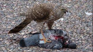 Hawk eating pegeon