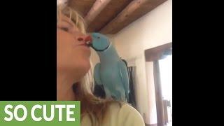 Smart parrot gives owner kisses on demand