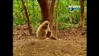 قرد يتلاعب بنمر شاهد و استمتع