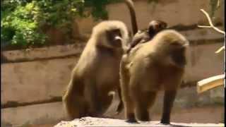 Boogie Beebies - Hey Monkey