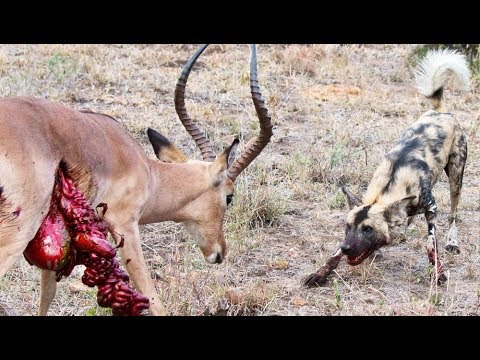 Download Wild Dogs v Impala | Impala Fights Back as Guts Fall Out