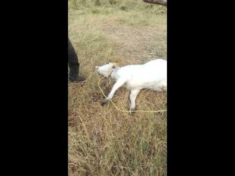 Como matar un ganado