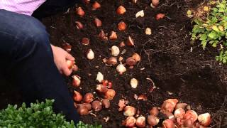 How To Plant 100 Tulips in 30 minutes
