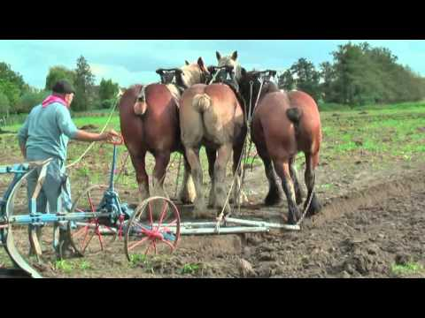 Strong Belgian Draft Horses Working on the Farm Merelbeke