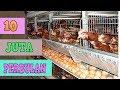 Ternak Ayam Petelur   Wajib Tonton Sebelum Memulai Usaha [ Cara & Analisa ]